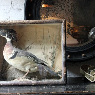 An Attractive Mid 19thC Cased Taxidermy Wood Duck