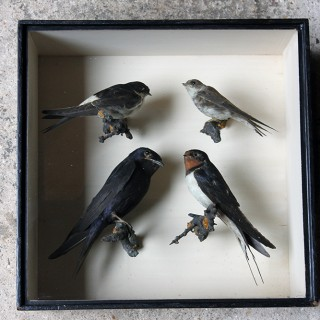 A Wonderful Cased Taxidermy Swallow & Martin Group by Joseph Cullingford of Durham c.1885