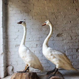 A Glorious Rare Pair of Large Mature Mid 20thC Taxidermy Swans