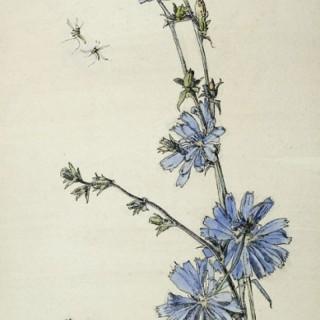 Anna Airy (1882-1964) - Succory