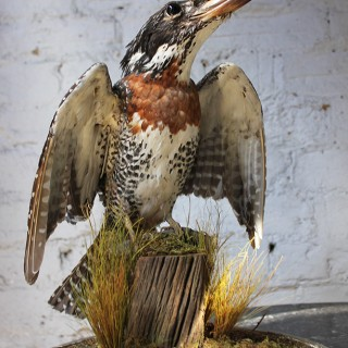 A Striking Late Victorian Dome Cased Taxidermy Giant African Kingfisher c.1890