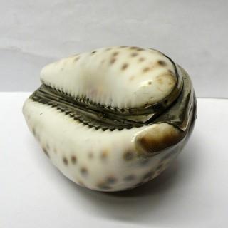 Georgian Silver Cowrie Shell Snuff Box