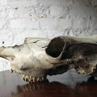 A Large Mid 20thC Upper Section of a Cow Skull