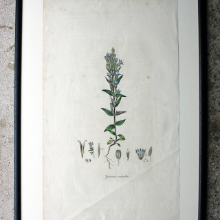 Decorative Group of Five George III Period Framed & Hand-Coloured Stipple Botanical Engravings from The Temple of Flora; or Garden of Nature c.1799-1809