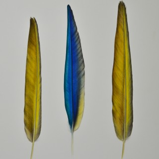 JENNIFER HOOPER (BORN 1982) - BLUE-AND-YELLOW MACAW FEATHERS