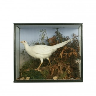 Vintage Taxidermy, Cased Albino Pheasant