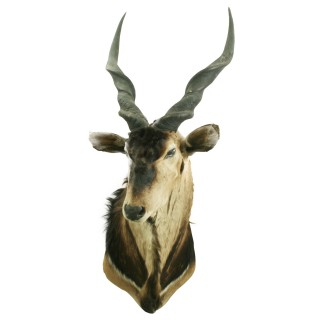 Giant Eland Taxidermy Mount.