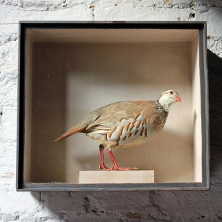 A Wonderful Museum Cased Taxidermy French Partridge c.1865-85, attributed to R.Duncan of Newcastle Upon Tyne