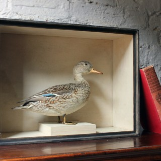 A Sublime Museum Cased Taxidermy Female Teal c.1865-85, by R.Duncan of Newcastle Upon Tyne