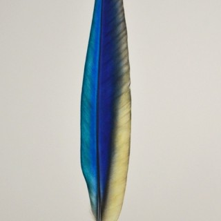 Jennifer Hooper ((born 1982) - Blue-and-Yellow Macaw Feather