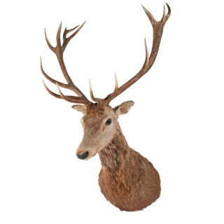 Large Victorian Stag's Head