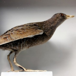 A Fine Museum Cased Taxidermy Spotted Crake c.1865-85, attributed to Robert Duncan of Newcastle Upon Tyne