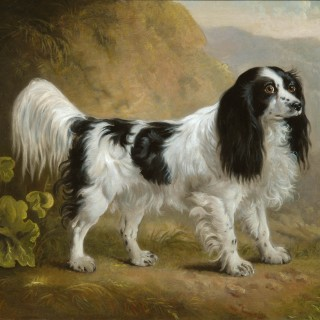 Black & white springer spaniel