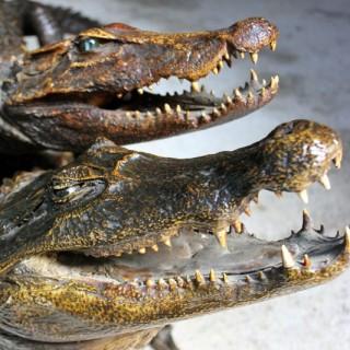 A Wonderful Pair of Late 19thC Taxidermy African Nile Crocodiles c.1900