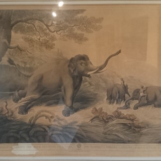 Early 19th Century Antique Print Of A Decoy Elelphant Tied To A Tree In India