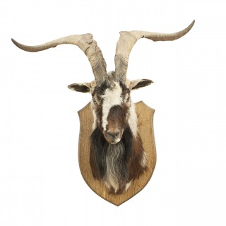Mountain Goat Head on Oak Shield