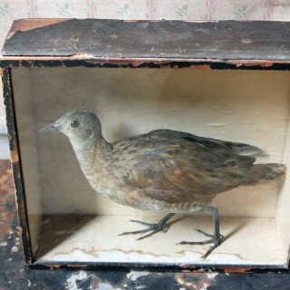 An Early Museum Cased Taxidermy Corncrake c.1860, in the Manner of Robert Duncan of Newcastle Upon Tyne