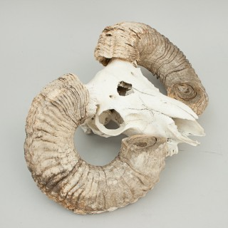 Rams Head Scull and Horns