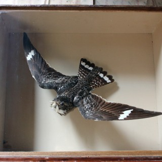 A Stunning Museum Cased Taxidermy Nighthawk by Joseph Cullingford of Durham Dated to 1895; & Commissioned by Henry Gervas Stobart