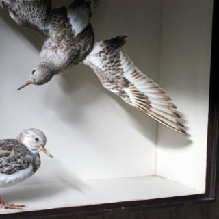 A Beautiful Museum Cased Taxidermy Pair of Turnstones by Joseph Cullingford of Durham, Dated to August 1898 & 1899