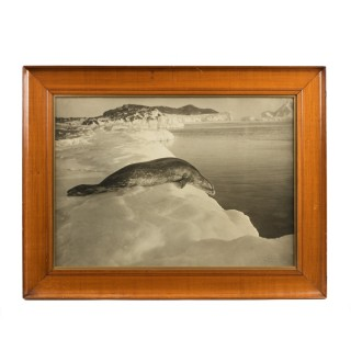 Silver gelatine print of a Weddell seal