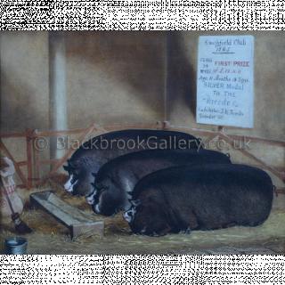 Three Prize Berkshire Pig's