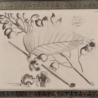 Hortus Malabaricus (1678-1693)