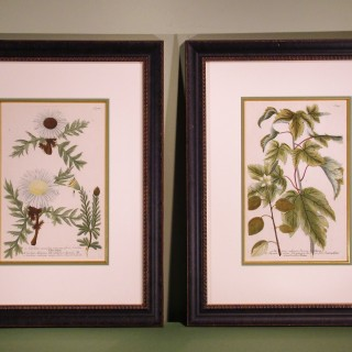 A pair of 18th Century Botanical Prints by Johan Wilhelm Weinmann.