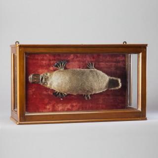 Taxidermy Duck-Billed Platypus