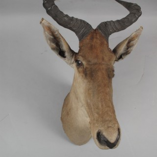Early Coke's Hartebeest