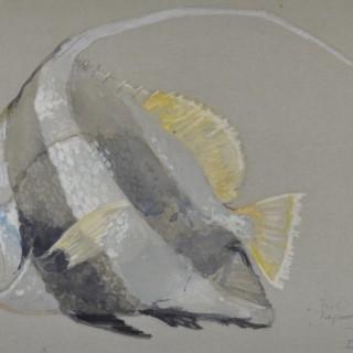 Bannerfish - Negumbo, Ceylon