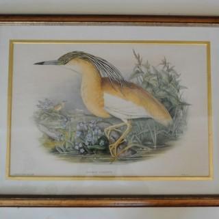 John Gould - Herons
