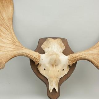 Large Moose or Elk Antlers