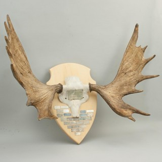 Mounted Pair of Moose, Elk Antlers