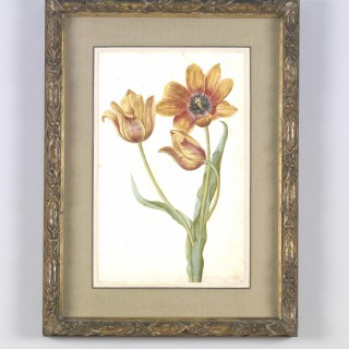Tulip Sylvestrus
