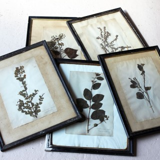 A Group of Five Framed French Collected Wild Flower Botanical Specimens c.1870-80