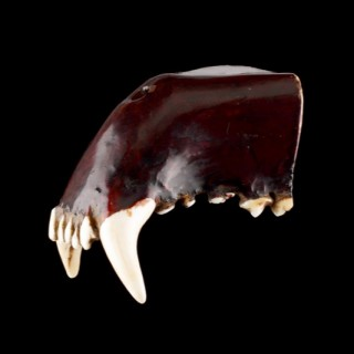 Japanese Netsuke made from the Natural Upper Jaw of a Fox