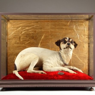 Victorian Taxidermy Specimen of a Parson 'Jack' Russell Terrier