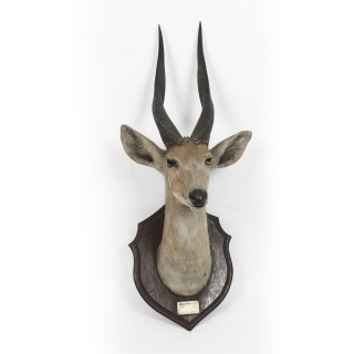 A Kenyan Mounted Taxidermy Bushbuck Hunting Trophy Dated 1910