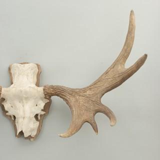 Pair of Elk, Moose Antlers