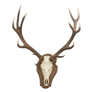 Royal Red Deer antler on shield, 12 Pointer.
