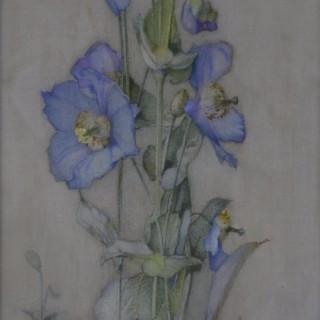 James Valentine Jelley - Meconopsis