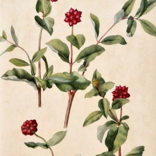 Francis Russell - Honeysuckle - watercolour