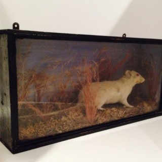 Victorian Cased White Rat.