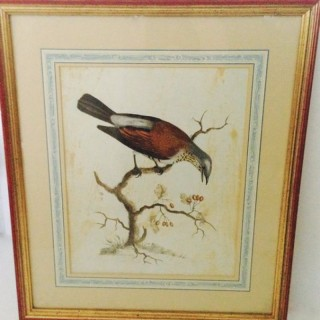 Antique Avian Print.