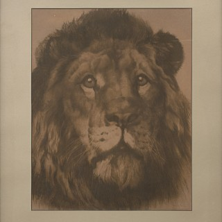 'His Majesty', Lion Portrait by Herbert Dicksee. A well executed etching by Herbert Dicksee