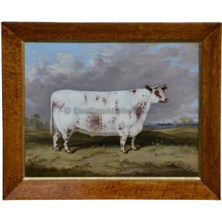 Prize Fat Shorthorn Heifer