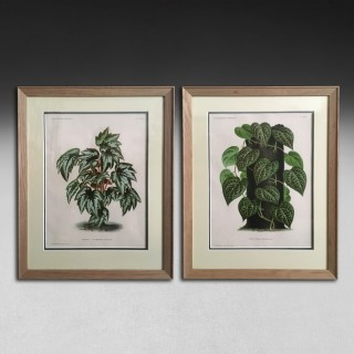 A pair of foliage botanical engravings from L'illustration Horticole