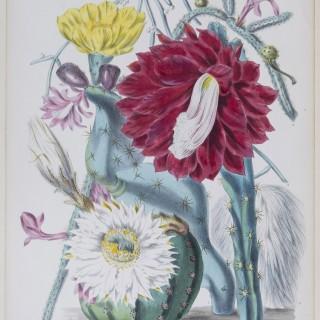 Fine Botanical Print. Elizabeth Twining, Cactaceae, 1849