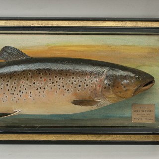 Trophy Fish Model Of A Brown Trout By Malloch
